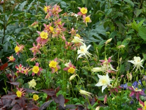 Aquilegia & Persicaria 'Red Dragon'