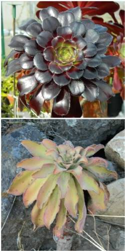 A Final Word on Aeoniums