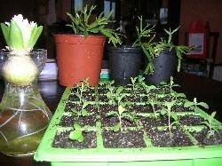 Hyacinth, Kalanchoe, Schlumbergera
