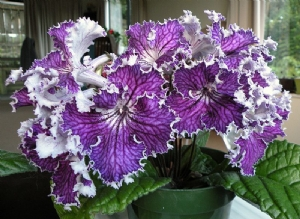 Streptocarpus DS Heart of Kai