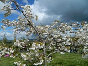 Prunus serrulata 'Shogetsu'
