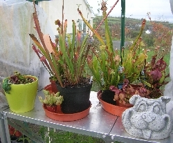 Sarracenia & Darlingtonia, without the water