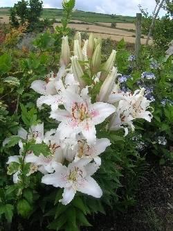 Muscadet Lilies