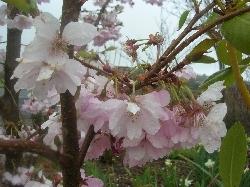 Prunus serulata 'Accolade'