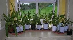 intermediate orchids