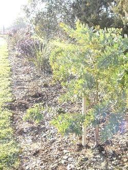 Staked Acacia Tree