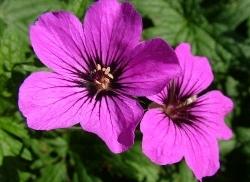 Geranium Patricia - copied photo