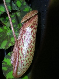 Nepenthes X Miranda