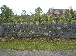 Elaeagnus ebbingei hedge & Persicaria bank