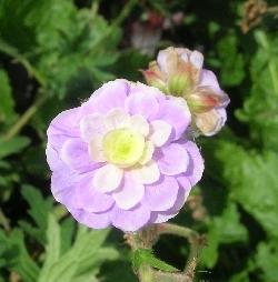 Geranium x pratense 'Summer Skies'