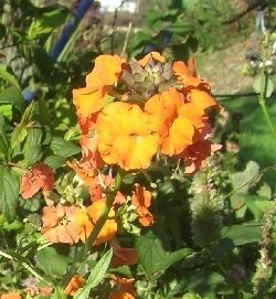 Erysimum linifolium 'Apricot Twist'