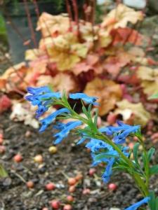 Corydalis 'Kingfisher'