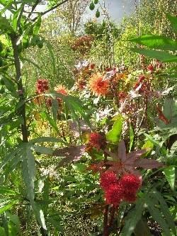 Ricinus communis & Solanum lancinatum