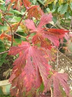 Acer japonicum 'Aconitifolius'