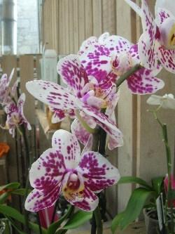 Phalaenopsis 'Marbella'