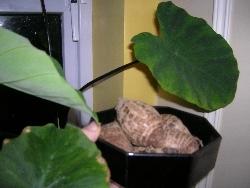 taro tubers and plants
