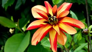 Favourite Dahlias & Chimeric Types