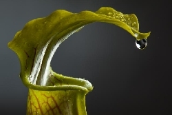 Sarracenia alata (from the web)