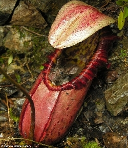 Nepenthes digesting a rat