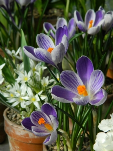 Crocus 'King of Striped'