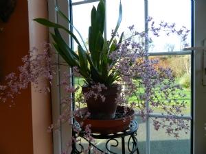 Oncidium in full flower