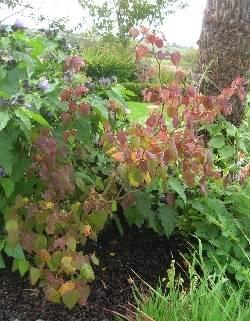 Disanthus cercidifolius