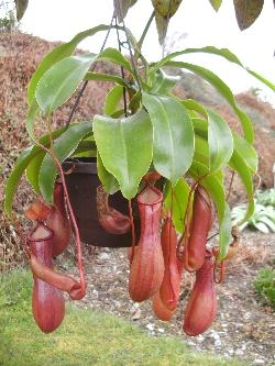 Nepenthes Hybride