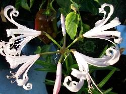 Nerine flexosus 'Alba'
