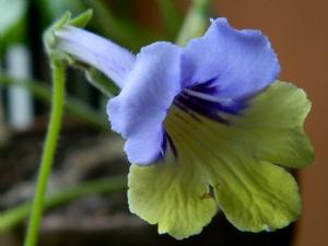 Streptocarpus 'Harlequin Blue'