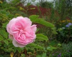 Rosa 'Céleste'