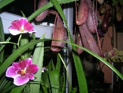 miltoniopsis & nepenthes