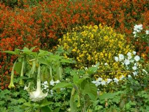 Brugmansia & Helianthemum