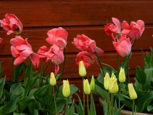 Tulipa 'Elegant Lady'