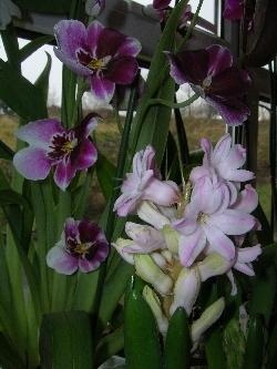 miltoniopsis & hyacinth