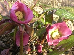 hellebores in sunshine