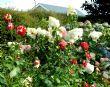 Hydrangea 'Vanille Fraise' 30.8