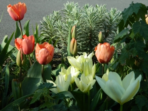 Tulips Gone Mad