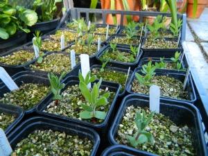 protea seedlings