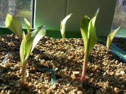 Canna warscewiczii seedlings