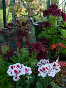 Pelargonium 'Aztec' and Rita D