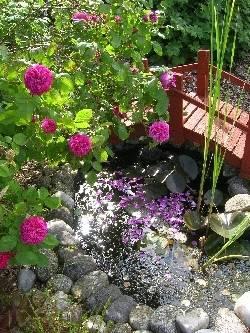 portland rose 'De Rescht'