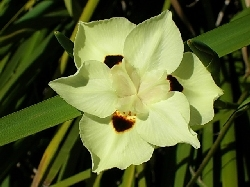 Dietes bicolor (photo from net)
