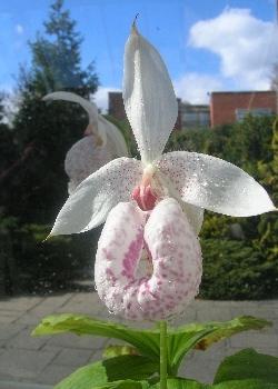 Cypripedium formosanum