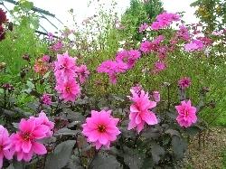 Dahlia Pink Fascination
