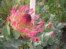 Protea exima