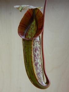 Nepenthes x 'Miranda'