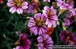 Salpiglossis sinuata (web photo)