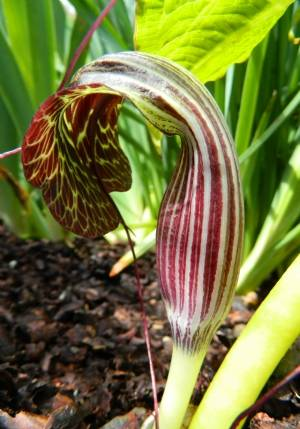 Arisaema griffithii - note the long thin tongue!