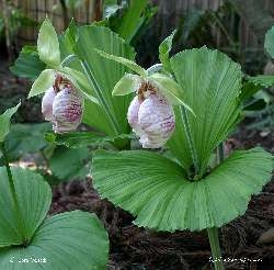 Cypripedium japonicum (web photo)
