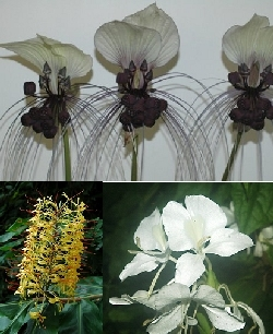 Tacca integrifolia, Hedychium gardenarium & Hedychium coronarium